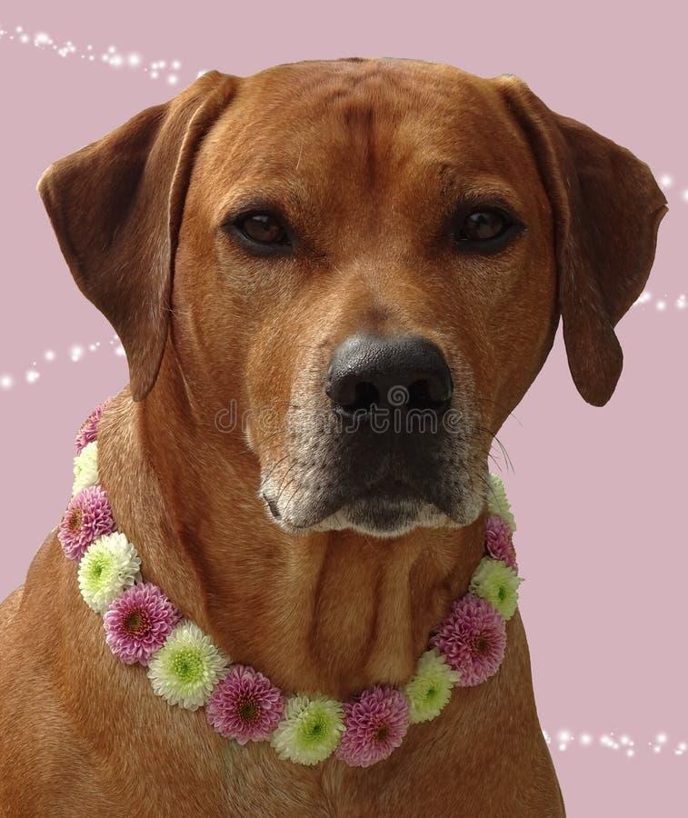 Blommar rhodesian ridgeback för hunden med hundhalsbandet av santinien royaltyfri bild