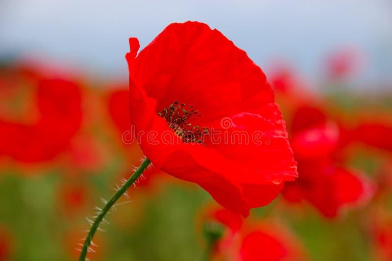 blommar rhoeas för red för papaverpapaveraceaevallmo arkivfoto