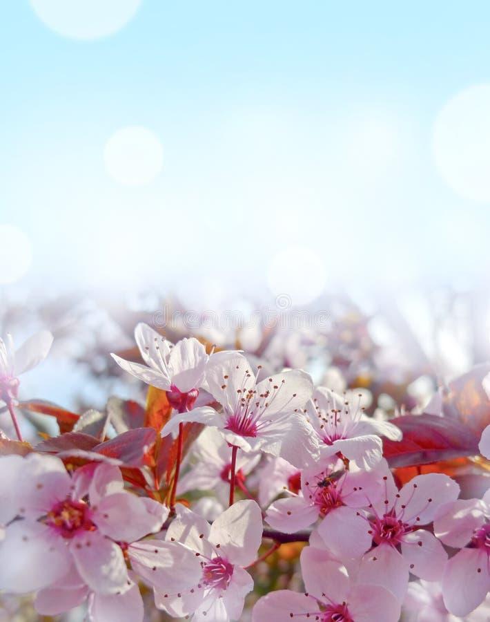 blommar sacura royaltyfri bild