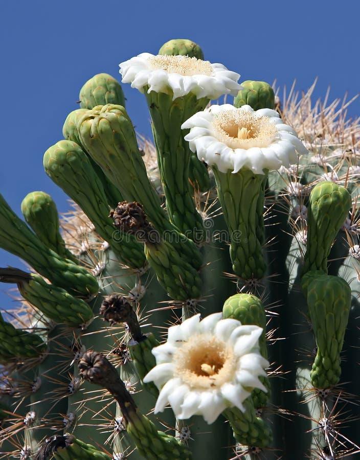 blommar saguaroen arkivbild