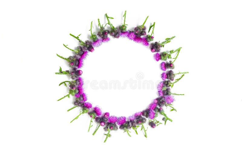 Blommar sammansättning Rund ram som göras av gröna filialer av tisteln med taggar och att blomstra mjuka karmosinröda blommor på  royaltyfri fotografi