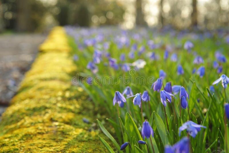 blommar scilla royaltyfri bild
