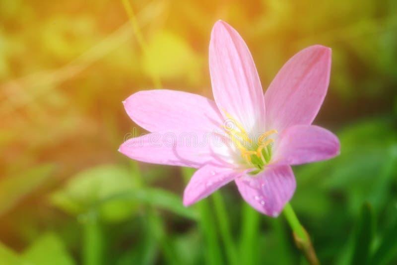 Blommar små rosa färger för mjuk fokus med backg för klarteckenbokehvåren royaltyfria foton