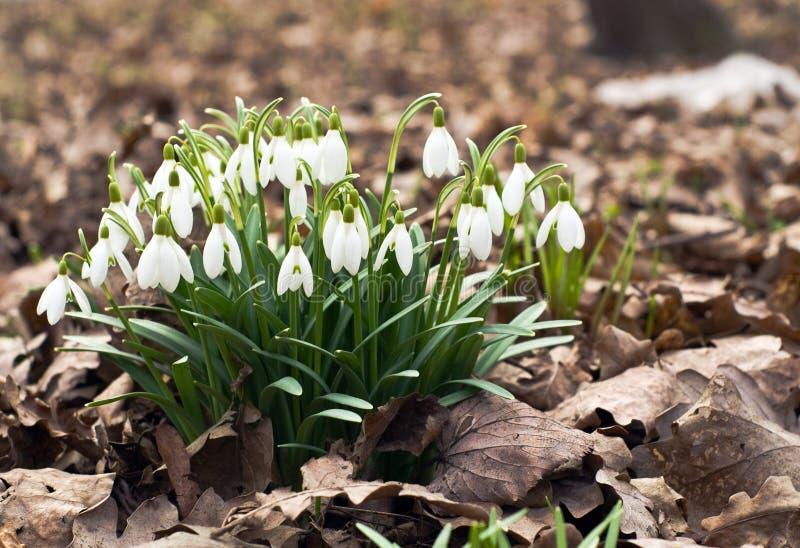 blommar snowdrop arkivfoto