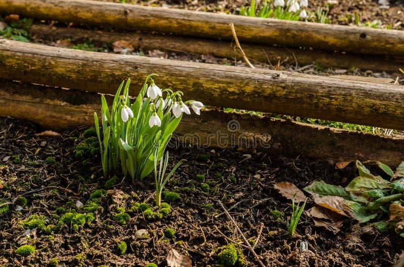 blommar snowdrop royaltyfria foton