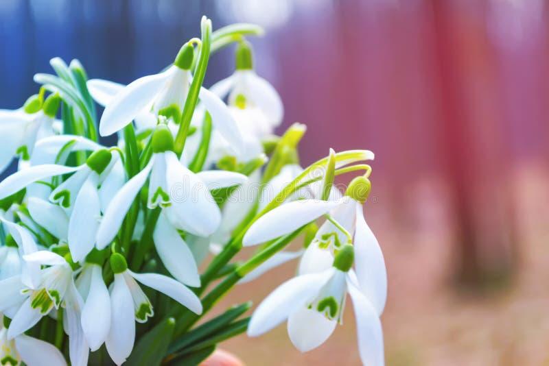blommar snowdrops Färgrik bakgrund för ny vår royaltyfri bild