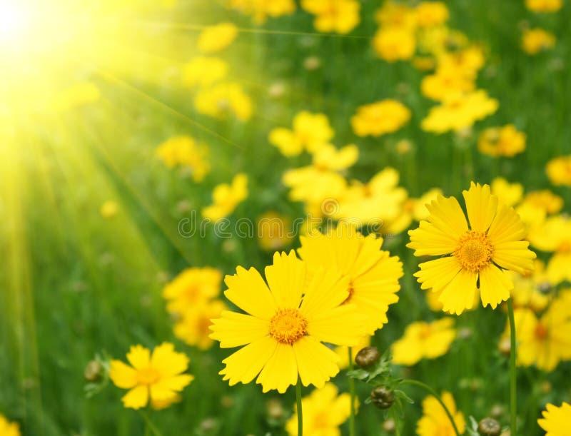 blommar solig yellow arkivbilder