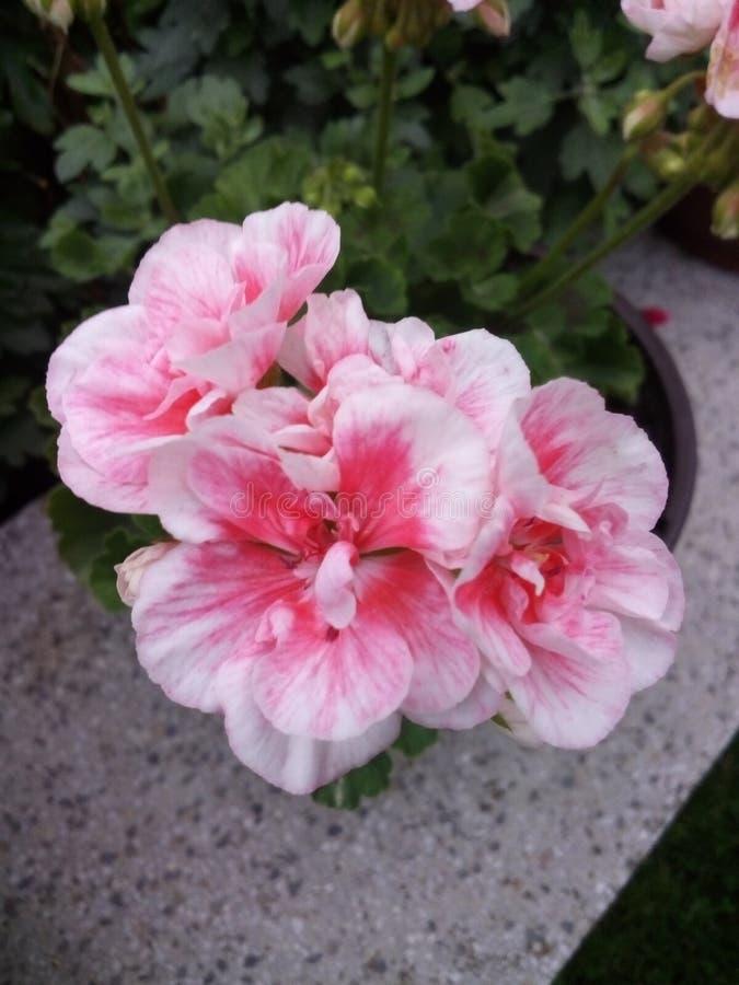 Blommar sommar för cveceproleceleto arkivfoton