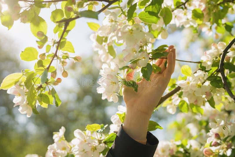 Blommar unga kvinnliga handhandlag för closeupen som blomstrar äppleträdet med rosa färger, i en trädgård arkivbild