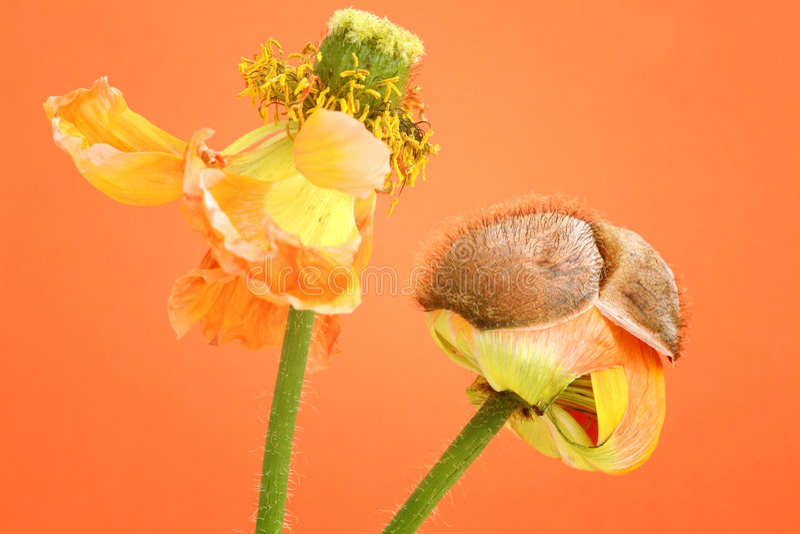 blommar vallmon royaltyfri foto