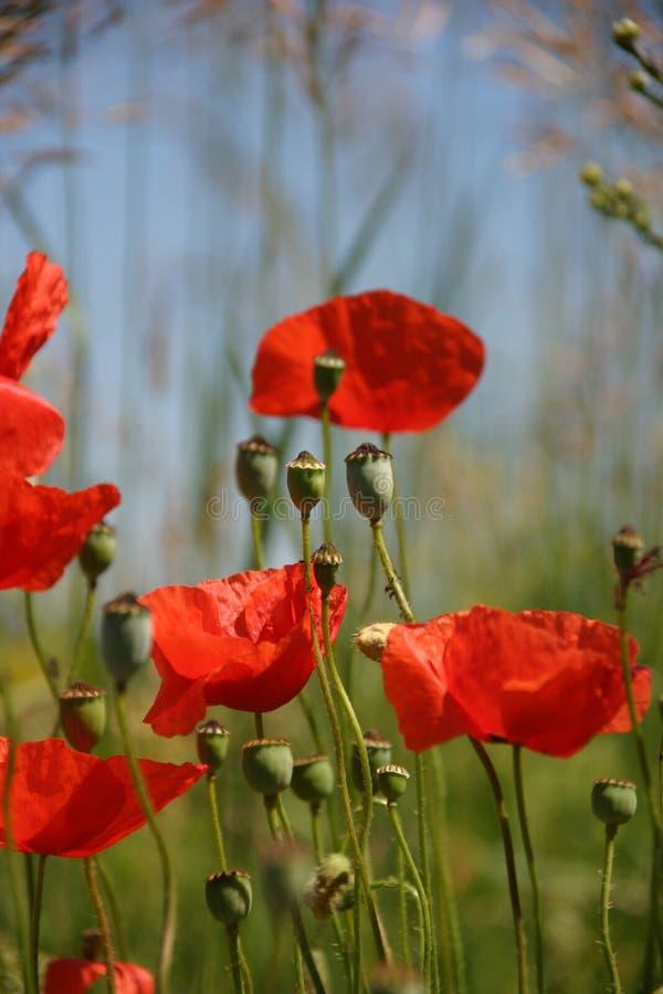 blommar vallmon royaltyfri bild