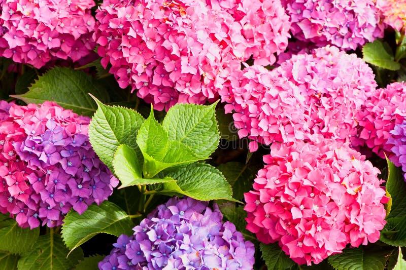 blommar vanlig hortensia royaltyfria bilder
