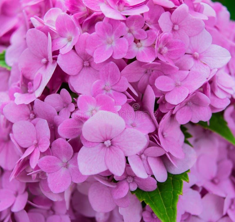 blommar vanlig hortensiapink fotografering för bildbyråer