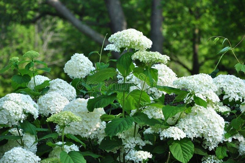 blommar vanlig hortensiawhite royaltyfri bild
