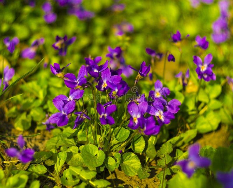blommar violets Övre för blommor för Wood violets nära Altfiolodorata arkivbild