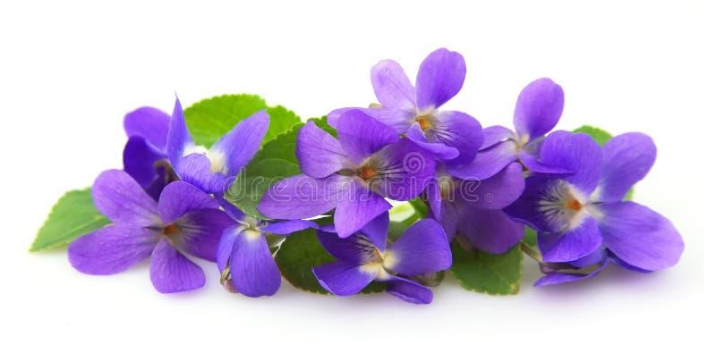 blommar violets royaltyfri fotografi