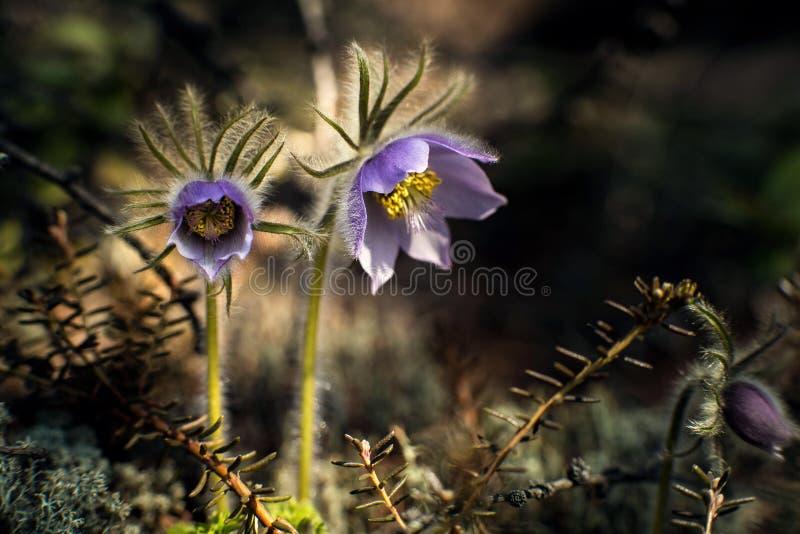 Blommar vulgaris eller Siberian snödroppar för Pulsatilla, den första våren Makrobild med litet djup av fältet arkivbild