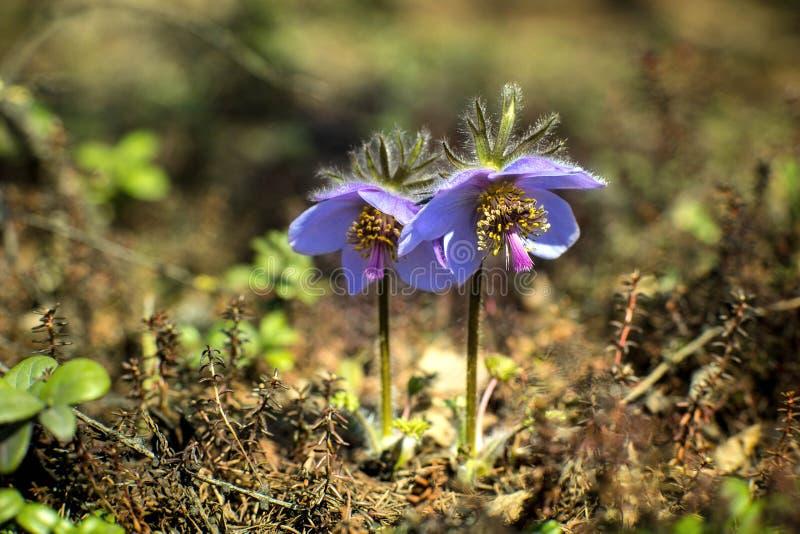 Blommar vulgaris eller Siberian snödroppar för Pulsatilla, den första våren Makrobild med litet djup av fältet royaltyfri foto