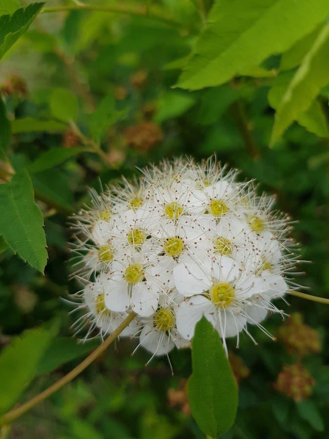 blommar white En liten bukett av vita blommor arkivbild