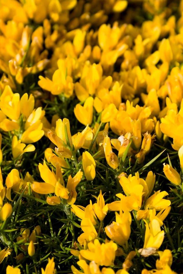blommar wild yellow royaltyfri foto