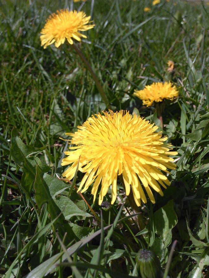 blommar wild yellow royaltyfria foton