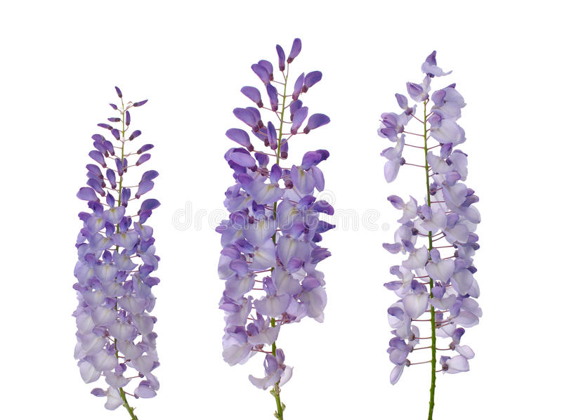 blommar wisteria royaltyfria foton
