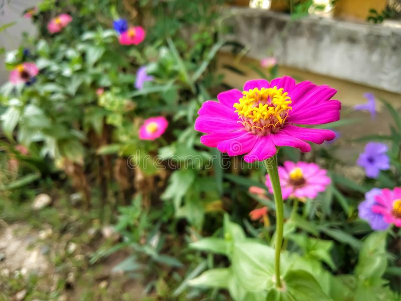 Blommar zinniarosa färger arkivfoton
