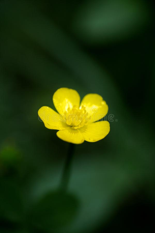 Blommaranunculusrepens eller för Ranunculaceaefamilj för krypa smörblomma konst för bakgrund för makro i högkvalitativa tryckprod royaltyfri foto