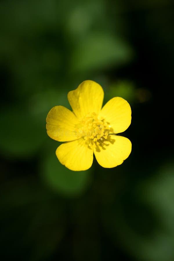 Blommaranunculusrepens eller för Ranunculaceaefamilj för krypa smörblomma konst för bakgrund för makro i högkvalitativa tryckprod royaltyfria bilder