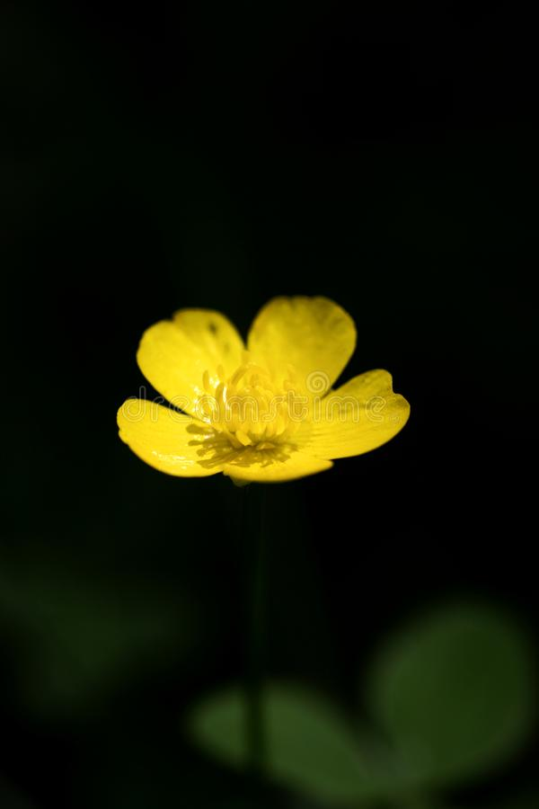 Blommaranunculusrepens eller för Ranunculaceaefamilj för krypa smörblomma konst för bakgrund för makro i högkvalitativa tryckprod arkivbild