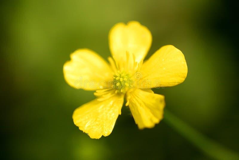 Blommaranunculusrepens eller för Ranunculaceaefamilj för krypa smörblomma konst för bakgrund för makro i högkvalitativa tryckprod royaltyfri fotografi
