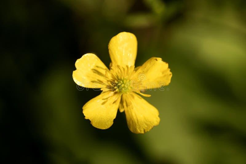 Blommaranunculusrepens eller för Ranunculaceaefamilj för krypa smörblomma konst för bakgrund för makro i högkvalitativa tryckprod arkivbilder