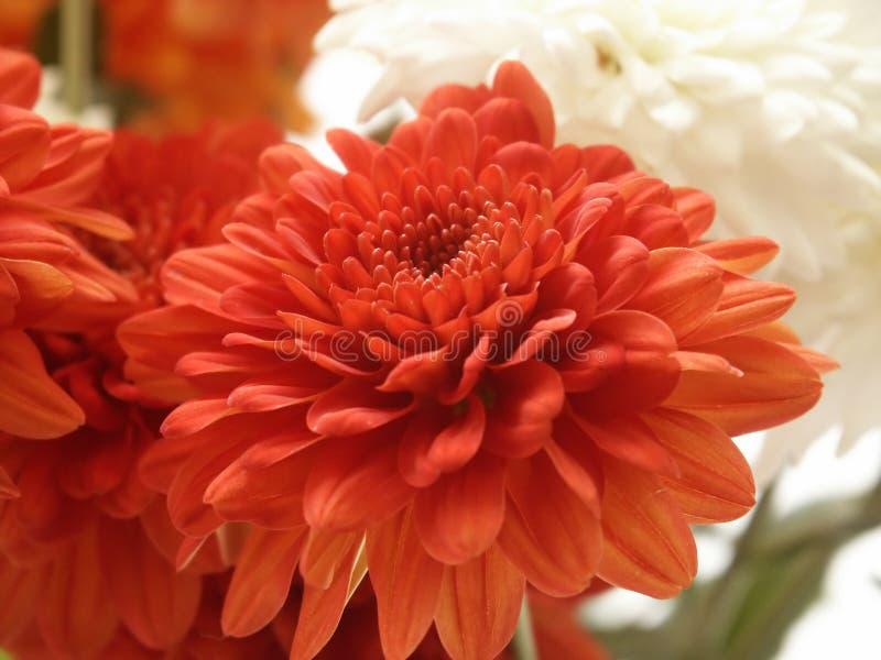 Download Blommared fotografering för bildbyråer. Bild av förälskelse - 227051