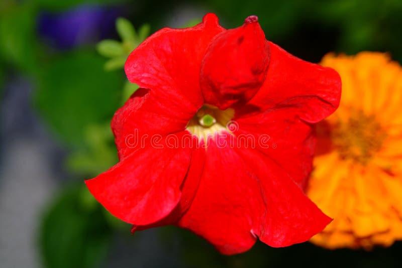 Download Blommared arkivfoto. Bild av trädgårdar, trädgård, växt - 238056