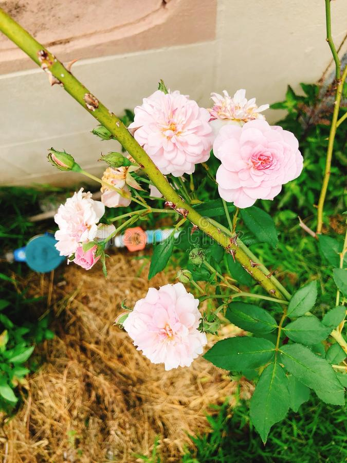 Blommarosa färger arkivbilder