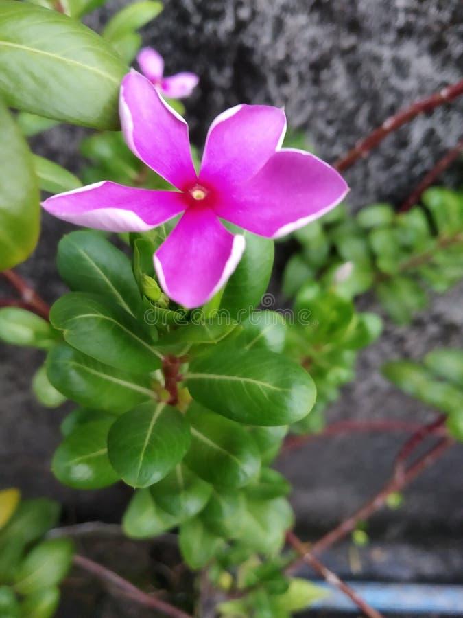 Blommarosa f?rger royaltyfri foto