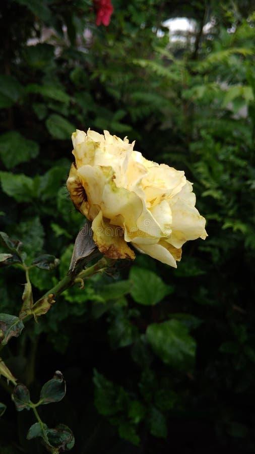 BlommaRose Garden Nature vän arkivbild