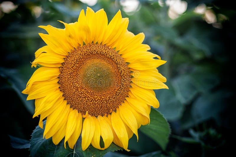 blommas fältsolrosor arkivbild