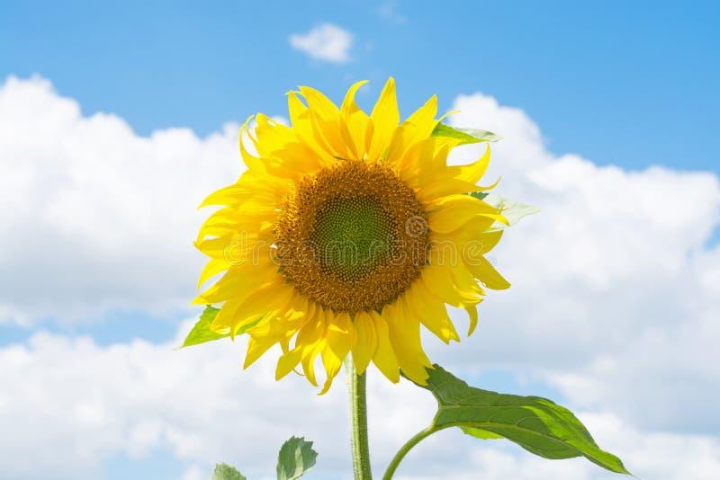 blommas fältsolrosor royaltyfria bilder