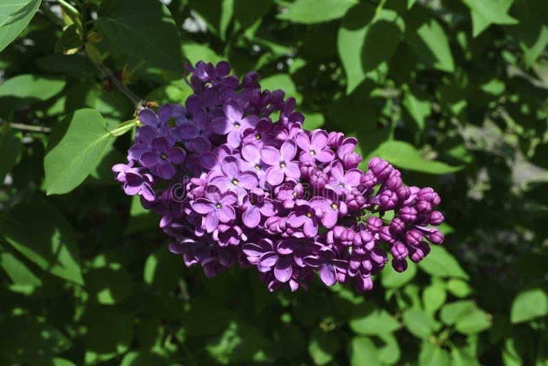 blommas lilor royaltyfri foto