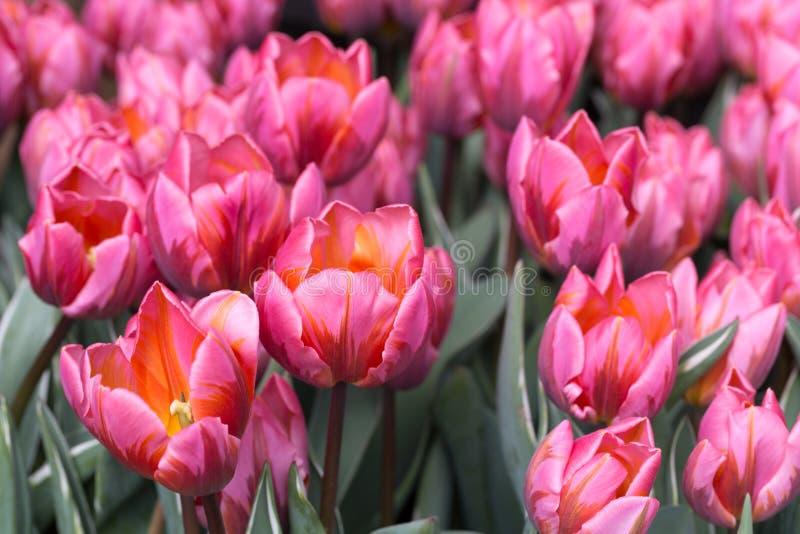 blommas rosa tulpan royaltyfri bild