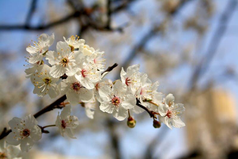 blommas trees Vita blommor och blå himmel på vårtid arkivfoton