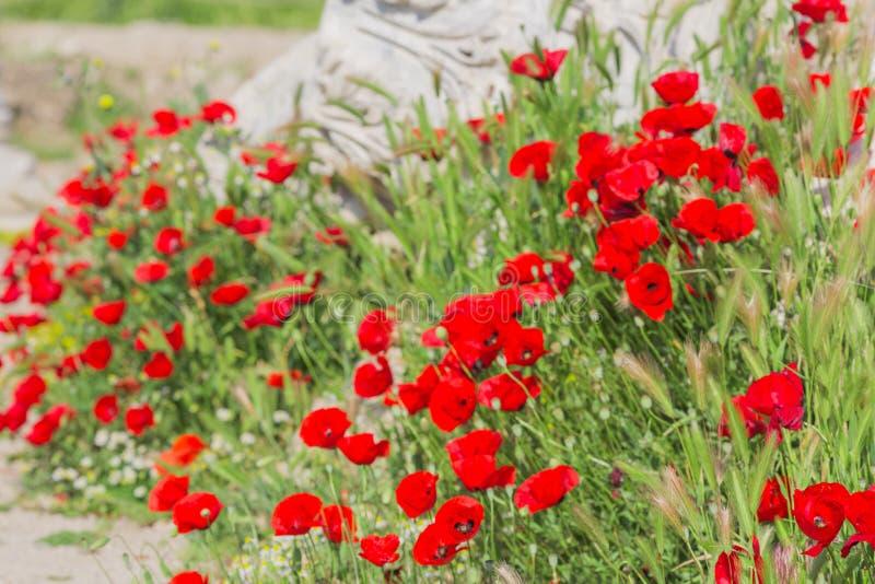 blommas vallmor royaltyfri foto