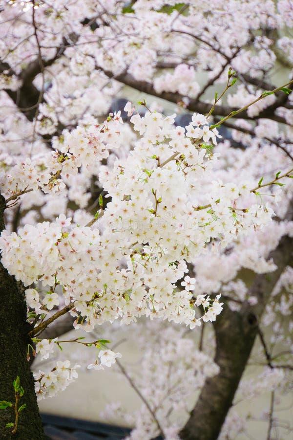 Blommasakura vår royaltyfri foto