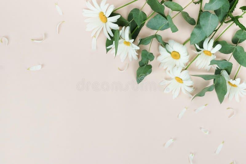 Blommasammansättningsbakgrund bukett av blommakamomillar på blek beige bakgrund fotografering för bildbyråer
