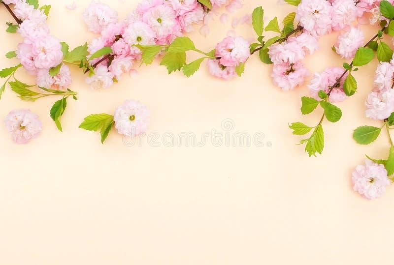 Blommasammans?ttningsbakgrund h?rliga rosa sakura blommor p? blek orange bakgrund arkivfoton