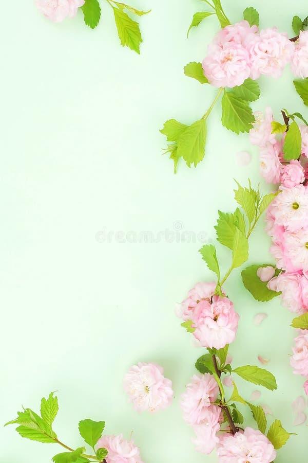 Blommasammans?ttningsbakgrund h?rliga rosa sakura blommor p? blekt - gr?n bakgrund arkivfoton