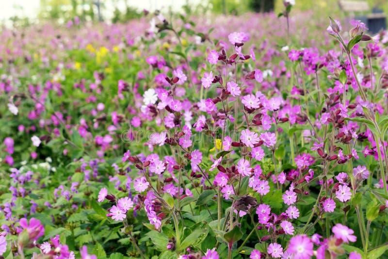 BlommaSilene för röd glim dioica i blomning royaltyfria foton