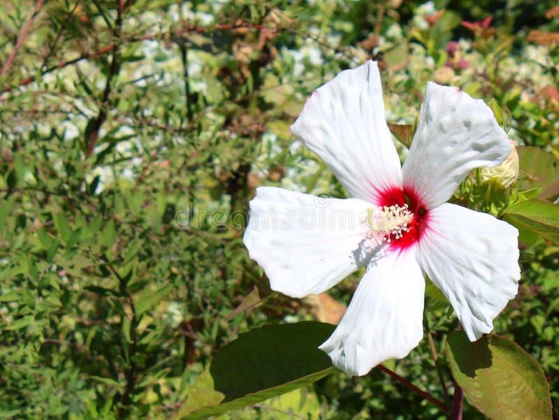 Blommaslut upp hibiskusvit arkivfoto