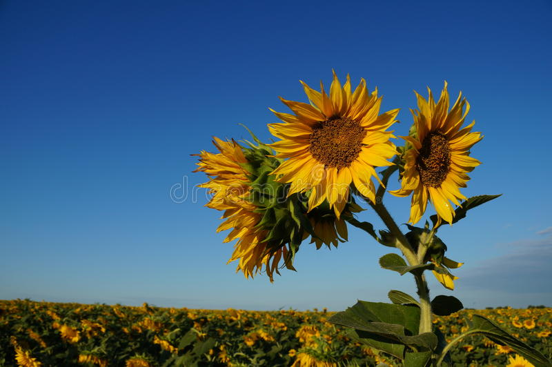 Blommasolros fotografering för bildbyråer
